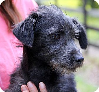 Poodle (Miniature)/Schnauzer (Miniature) Mix Dog for adoption in Pewaukee, Wisconsin - JAKE- adorable Schnoodle