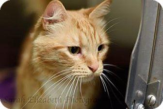 Domestic Mediumhair Cat for adoption in Columbus, Georgia - CheezIt 5730