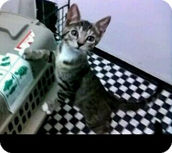 Domestic Mediumhair Kitten for adoption in New York, New York - Tango