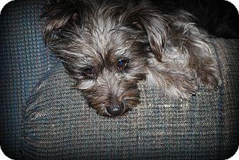 Schnauzer (Miniature) Mix Dog for adoption in Jennings, Oklahoma - Muffie
