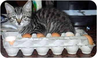 Domestic Shorthair Kitten for adoption in Ardsley, New York - Dennis