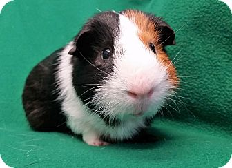 Guinea Pig for adoption in Lewisville, Texas - Frisbee