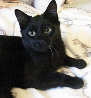 Domestic Shorthair Cat for adoption in Covington, Kentucky - Piper