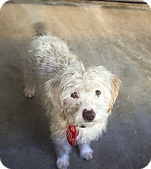 Terrier (Unknown Type, Medium) Mix Dog for adoption in Pitt Meadows, British Columbia - Conrad