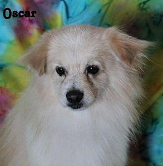 Pomeranian Mix Dog for adoption in Phelan, California - Oscar