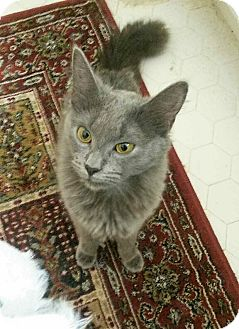 Russian Blue Cat for adoption in Atlanta, Georgia - Ling Ling