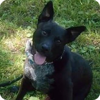 Australian Cattle Dog/Blue Heeler Mix Dog for adoption in Channahon, Illinois - Dale