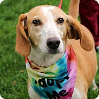 Adopt A Pet :: Scully - Richmond, VA