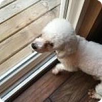 Adopt A Pet :: Bojangle - Mount Gretna, PA