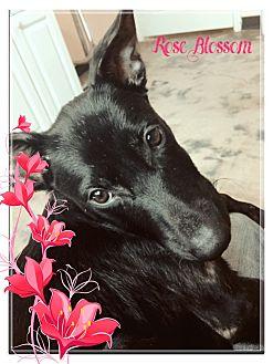 Labrador Retriever Mix Puppy for adoption in Vancouver, British Columbia - Rose Blossom