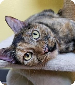 Domestic Shorthair Cat for adoption in Benbrook, Texas - Mystery