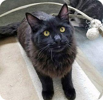 Domestic Shorthair Cat for adoption in Mountain Center, California - Olin