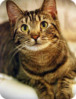 Domestic Shorthair Cat for adoption in Los Angeles, California - Yogi