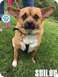 Chihuahua/Corgi Mix Dog for adoption in Kimberton, Pennsylvania - Shiloh