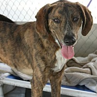 Adopt A Pet :: Bovie - Hilton Head, SC