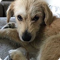 Adopt A Pet :: Butter - Tumwater, WA