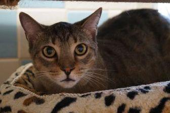 Domestic Shorthair/Domestic Shorthair Mix Cat for adoption in Cocoa, Florida - Jordan (Merritt Island Adoption Center)