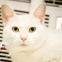 Domestic Shorthair/Domestic Shorthair Mix Cat for adoption in Lindenwold, New Jersey - Snowflake