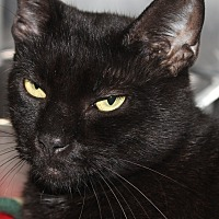 Adopt A Pet :: JINGLES - Clayton, NJ