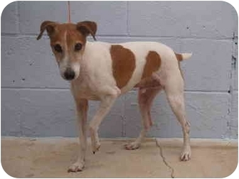 Jack Russell Terrier Dog for adoption in El Cajon, California - Teddy
