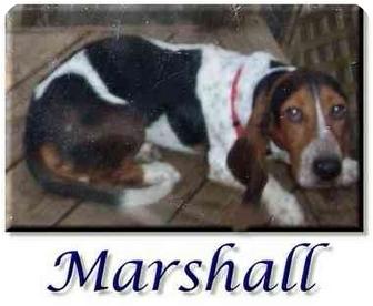 Basset Hound Dog for adoption in Marietta, Georgia - Marshall
