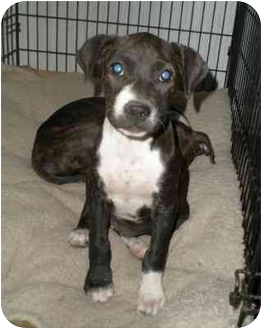 American Pit Bull Terrier/Boxer Mix Puppy for adoption in Franklin, Virginia - Mica