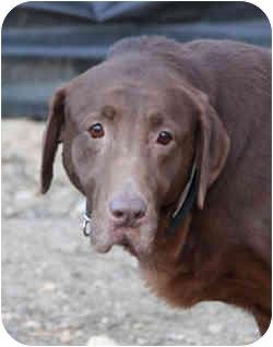 Labrador Retriever Dog for adoption in Port Jefferson Station, New York - Molly