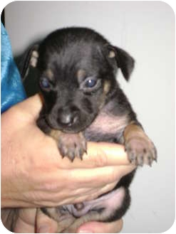 Dachshund/Miniature Pinscher Mix Puppy for adoption in Arlington, Texas - Buster