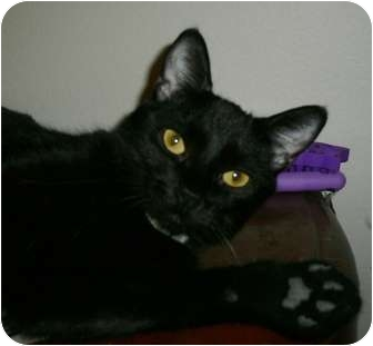 Domestic Shorthair Cat for adoption in lake elsinore, California - Pixie Chic