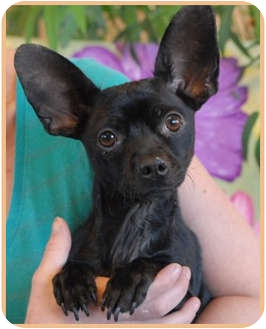 Chihuahua Dog for adoption in Las Vegas, Nevada - Casta