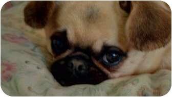 Pekingese/Chihuahua Mix Dog for adoption in Lynnwood, Washington - Riesling-PENDING