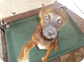 Labrador Retriever Mix Puppy for adoption in Henderson, North Carolina - Becky