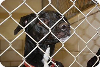 "Border Collie/Labrador Retriever Mix Dog for adoption in Haughton, Louisiana - BCAX ""Jax"""