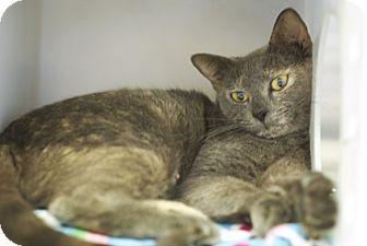 Domestic Shorthair Cat for adoption in Corpus Christi, Texas - Iris