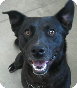Labrador Retriever Mix Dog for adoption in Bonners Ferry, Idaho - Barrigan