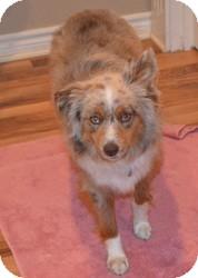 Australian Shepherd Dog for adoption in Overland Park, Kansas - DIBS