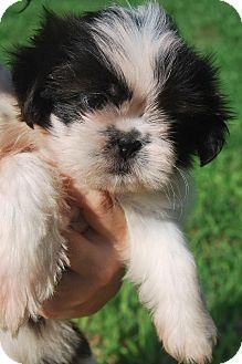 Shih Tzu Puppy for adoption in Newark, Delaware - Mini Mee