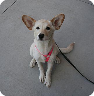 Labrador Retriever/German Shepherd Dog Mix Puppy for adoption in Gilbert, Arizona - Sarah