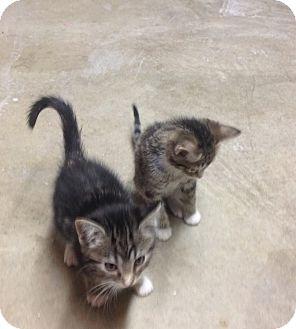Domestic Shorthair Kitten for adoption in Des Moines, Iowa - Dixie