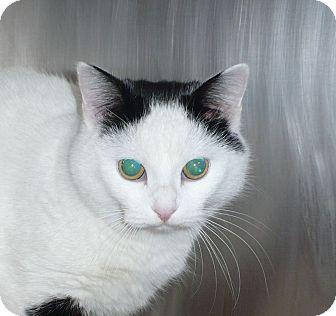 Domestic Shorthair Cat for adoption in Colmar, Pennsylvania - Coco