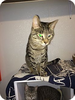 Domestic Shorthair Cat for adoption in Broadway, New Jersey - Newt
