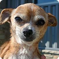 Adopt A Pet :: Emily - white settlment, TX