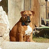 Adopt A Pet :: Duke - Phoenix, AZ