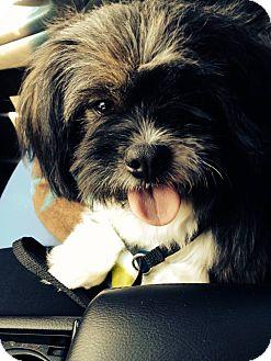 Shih Tzu Dog for adoption in Miami, Florida - Tara