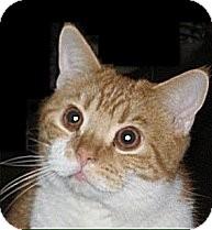 Scottish Fold Cat for adoption in Loveland, Colorado - Paddy