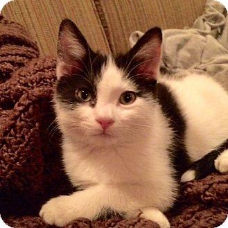 Domestic Mediumhair Kitten for adoption in Los Angeles, California - Luke