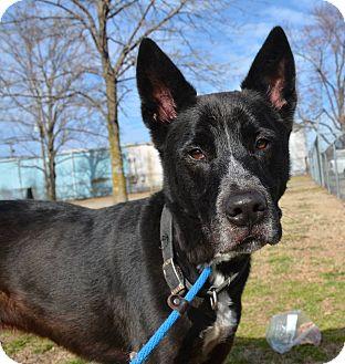 Shepherd (Unknown Type)/Australian Cattle Dog Mix Dog for adoption in Jacksonville, Arkansas - Reggie