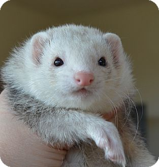 Ferret for adoption in Frederick, Maryland - Hina