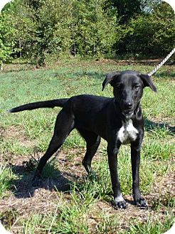Labrador Retriever/Hound (Unknown Type) Mix Dog for adoption in Jefferson, Texas - Tipper