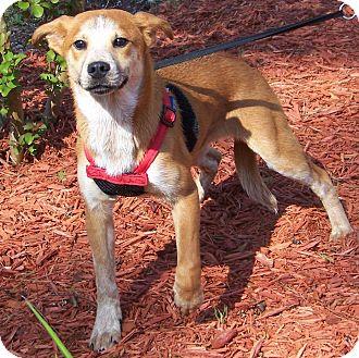 Australian Cattle Dog Mix Puppy for adoption in Burgaw, North Carolina - Holly